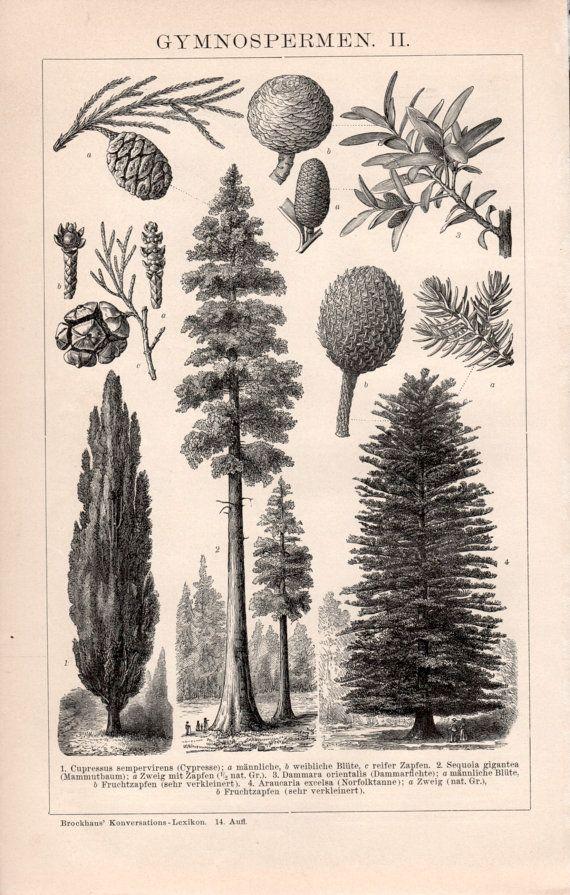 Tree Tattoo 1898 Botanical Print Gymnosperms Pine Trees